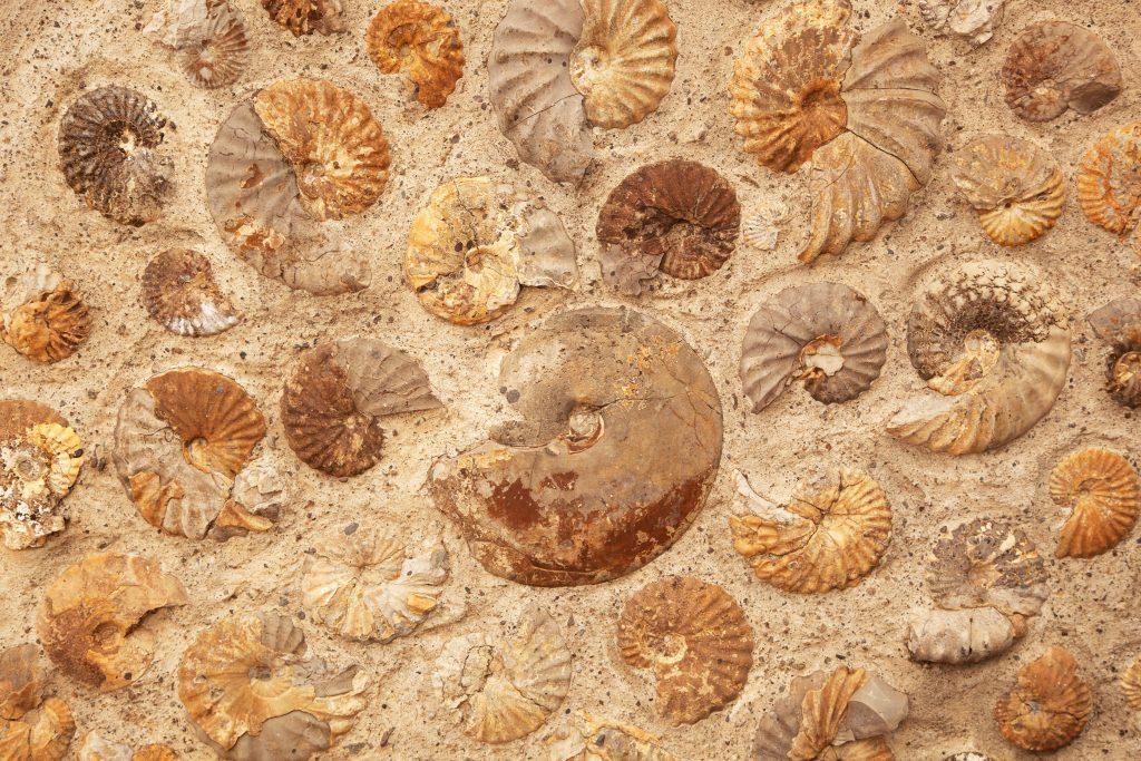 Ammoniti fossili